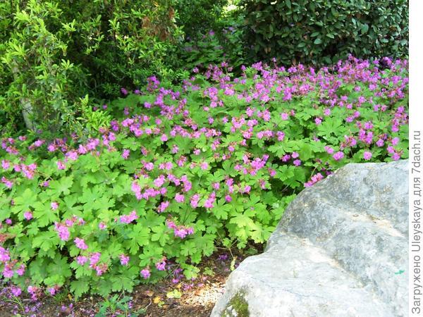 Герань крупнокорневищная прекрасно цветет в тени