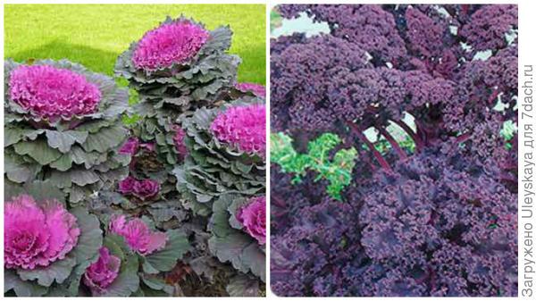 Капуста листовая сорта Краски Востока, фото сайта Многолетние цветы и Малиновка, фото сайта Дизайн дачи и участка