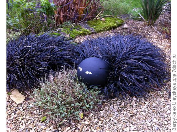 Офиопогон уплощенный Черноватый, фото сайта Special Plants Nursery