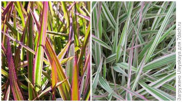 Канареечник тростниковый сорт Tricolor крупным планом, фото сайта Photobucket и Arborea Farm