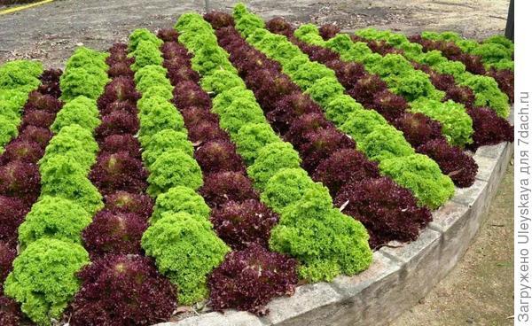 Краснолистные салаты в контрастной композиции, фото сайта PlantFile
