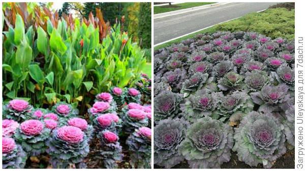 Декоративная капуста с каннами, фото сайта Многолетние цветы и в рабатке, фото сайта www.floraprice.ru