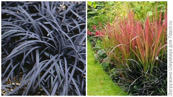Офиопогон уплощенный Черноватый крупным планом, фото сайта My Garden Insider и в миксбордере, фото сайта Pinterest