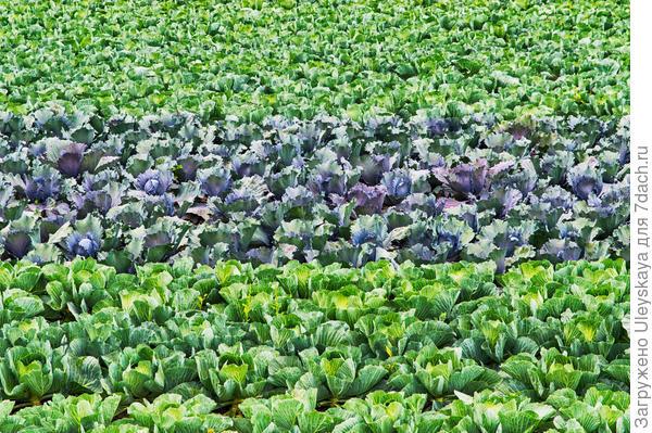 Краснокочанная капуста среди своих зеленых родственниц, фото сайта 7 dach