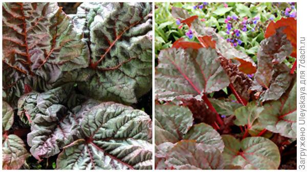 Ревень Ace of Hearts крупным планом, фото сайта Dorset Perennials и общий вид, фото сайта Connon Nurseries