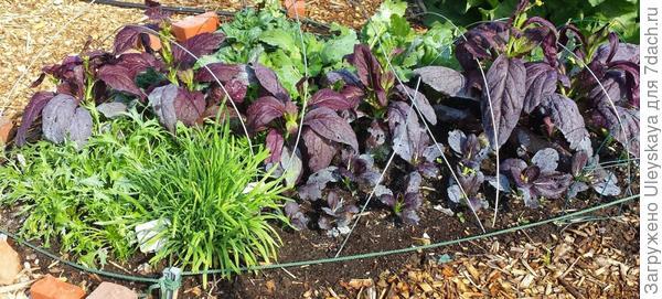 Сорта листовой репы на одной грядке, фото сайта Grow It Eat It Blog