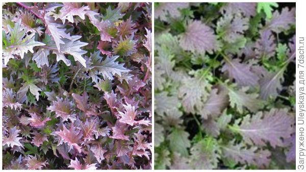 Королевская мицуна Royal Mizuna, фото сайта Lefroy Valley Seeds New Zealand и красная мицуна, фото сайта www.cnseeds.co.uk