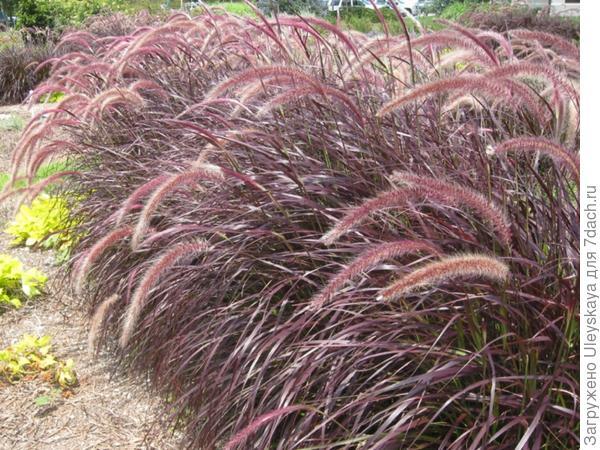 Перистощетинник щетинистый Purpureum фото сайта Online Plant Guide