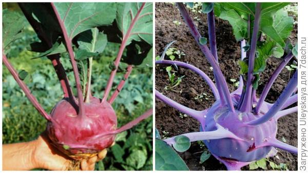 Капуста кольраби сорта Соната F1, фото сайта supersadovod.ru и Violetta, фото сайта Цветущий сад