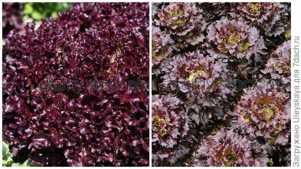 Салат сорт Lollo Rosso и другие краснолистные сорта на моногрядке, фото сайта Alamy