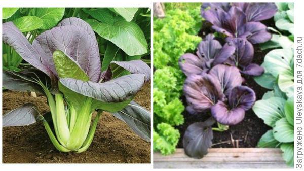 Коматсуна, фото сайта CN Seeds и она же в мини-композиции, фото сайта Charles Dowding