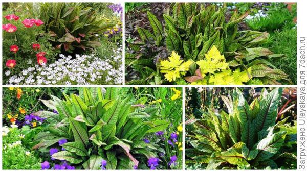 Щавель с другими растениями, фото сайта Plant Lust