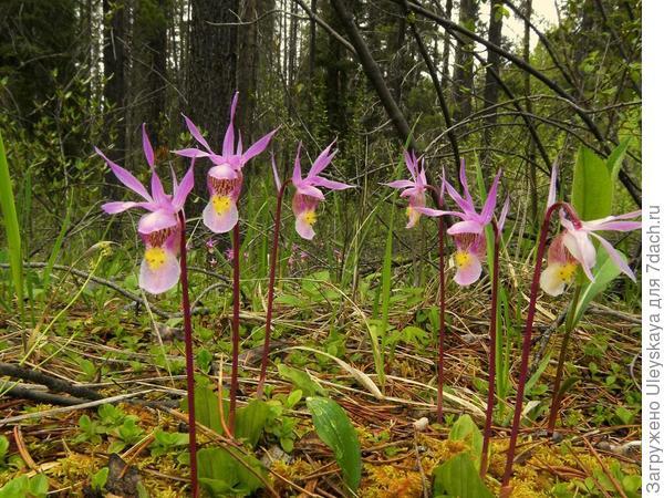 Орхидея калипсо луковичная, фото сайта Go Orchids - North America