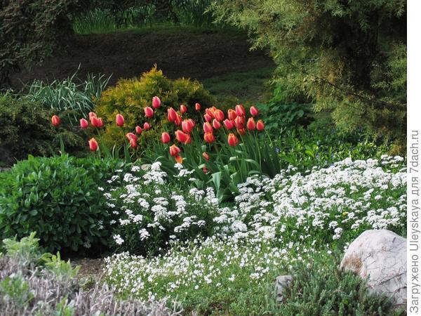 Иберис вечнозеленый в весенней композиции рокария