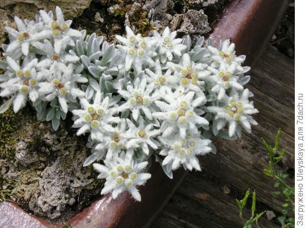 Эдельвейс альпийский subsp. nivale, фото сайта Alpine seed