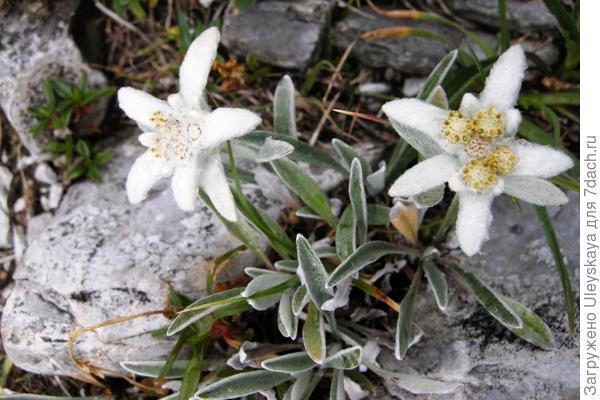 Эдельвейс альпийский, фото сайта SummitPost