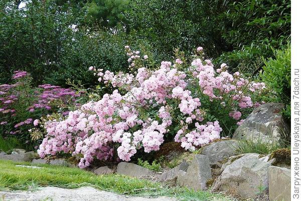 Полиантовая роза сорт The Fairy в рокарии, фото сайта Flickr