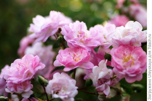 Полиантовая роза сорт Fairyland, фото сайта Wikimedia Commons