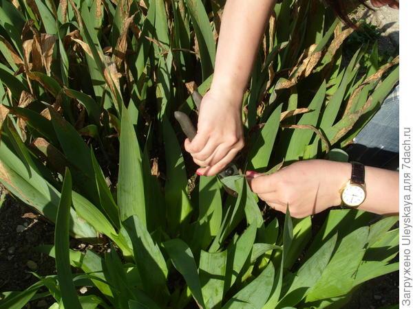 Удаляем сильно пораженные гетероспориозом листья ирисов