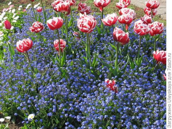 Незабудка и тюльпаны