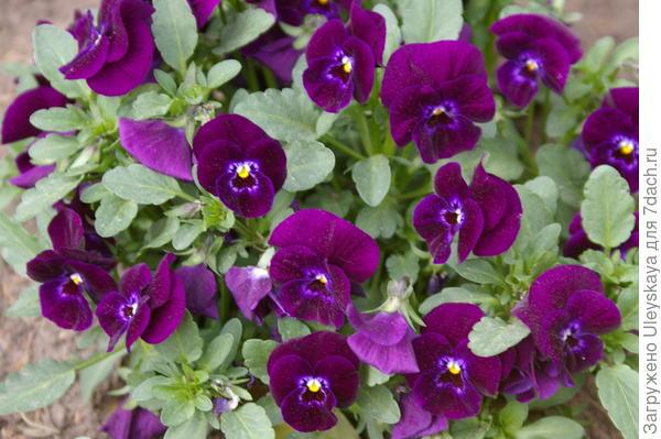 Viola wittrockiana sp.3