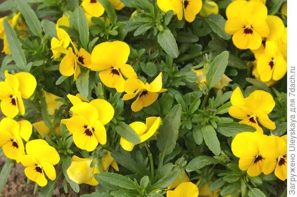 Viola wittrockiana sp.
