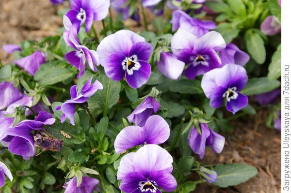 Viola wittrockiana sp.6