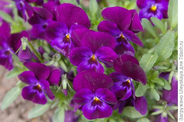 Viola wittrockiana sp.9