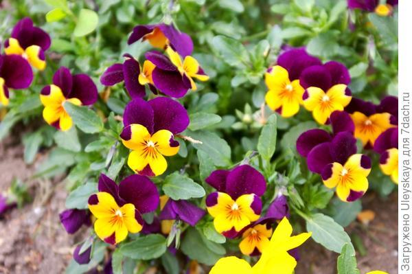 Viola wittrockiana sp.8