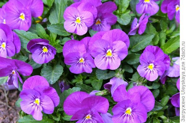 Viola wittrockiana sp.5