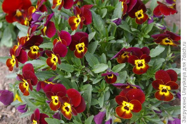 Viola wittrockiana sp.2