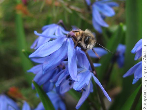 Пролеска сибирская и пчела