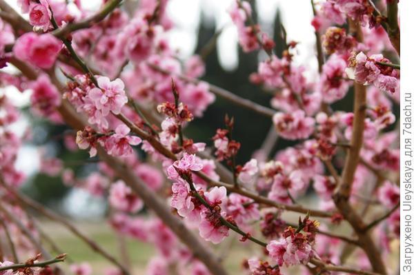 На Южном берегу Крыма цветет сейчас абрикос Муме