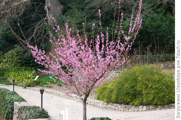 Деревце абрикоса Муме в цвету