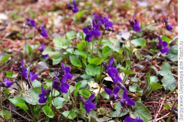 Цветет фиалка душистая