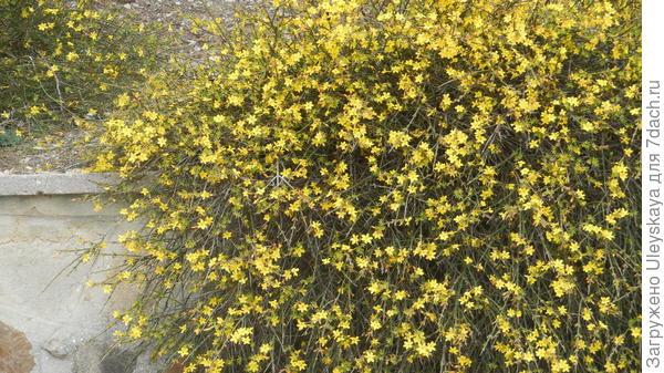 Жасмин голоцветковый в цветении