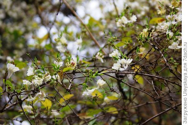 Цветет жимолость душистейшая