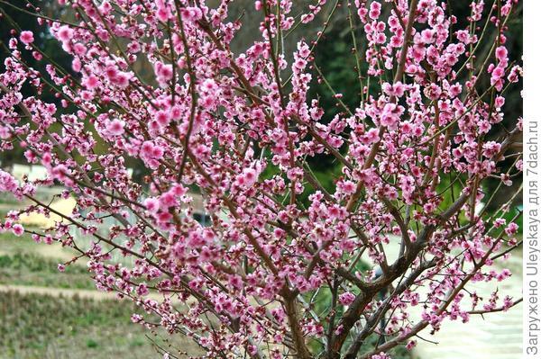Роскошное цветение абрикоса Муме