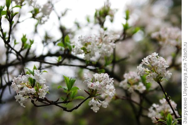Цветет калина Фарерра