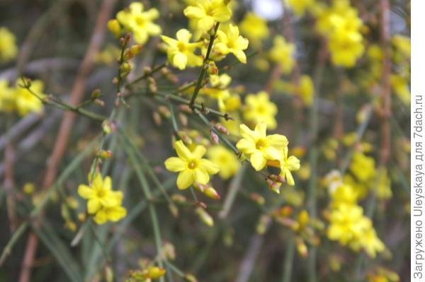 Цветки жасмина голоцветкового крупным планом