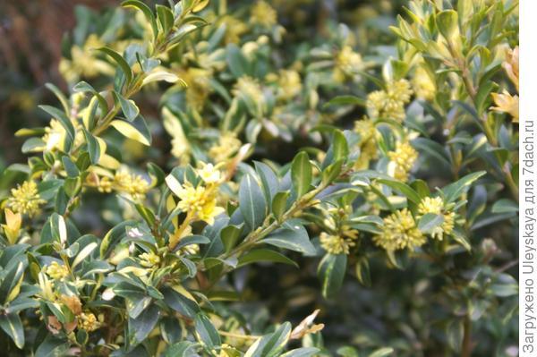 Самшит вечнозеленый Aureovariegata