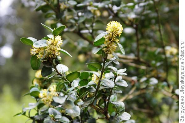 Цветет самшит вечнозеленый