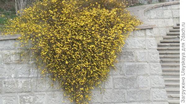 Цветет жасмин голоцветковый