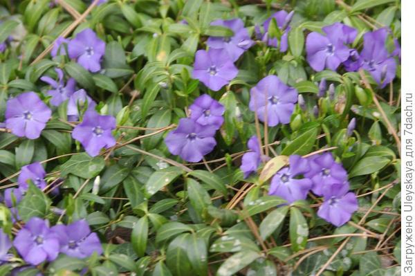 Цветет барвинок малый