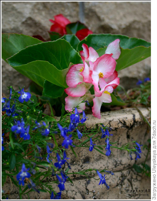 Бегония вечноцветущая с лобелией в стационарной садовой вазе