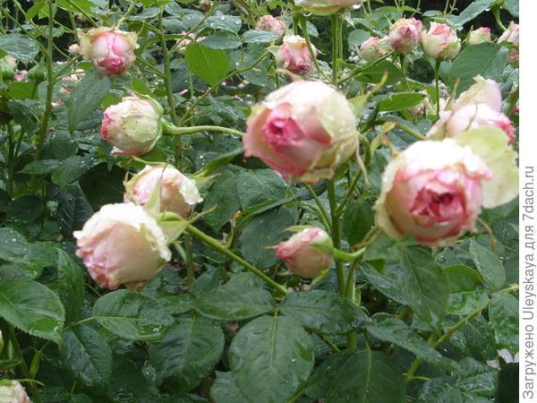 Роза Джим шраб