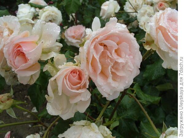 Роза Johann Strauss чайно-гибридная