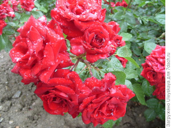 Роза Niccolo Paganini флорибунда