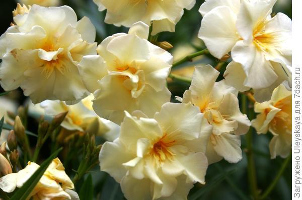 Олеандр с махровыми цветками