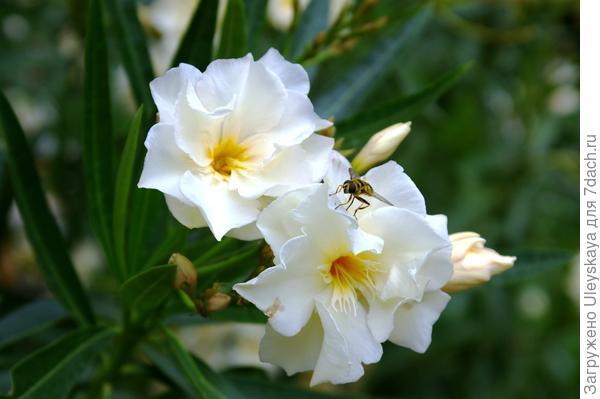 Олеандр обыкновенный с белыми цветками